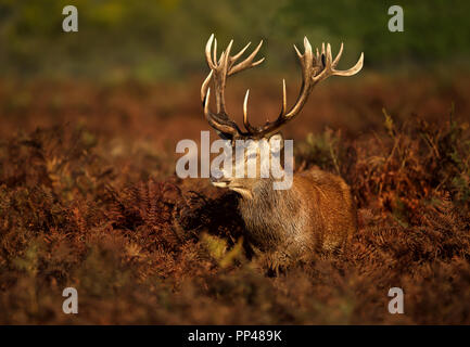 Close up of a Red deer stag standing in the field of fern during rutting season in autumn, UK. - Stock Photo