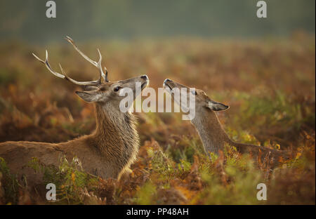 Close up of a Red deer stag with a hind during rutting season, autumn in UK. - Stock Photo