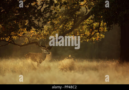 Red deer stag exhaling cold breath in early morning light, UK. - Stock Photo