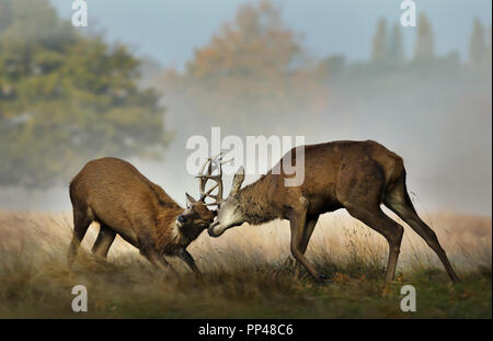 Close up of Red deer fighting during rutting season on a misty autumn morning, UK. - Stock Photo