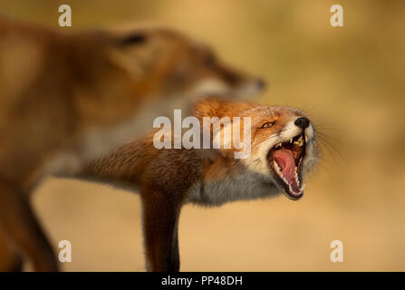 Close up of two red foxes fighting each other. - Stock Photo
