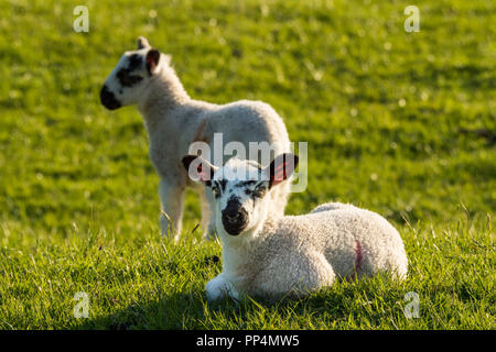 Front view of 1 cute lamb, ears pricked, laying down on lush green grass, in sunlit farm field, its friend standing nearby - Yorkshire, England, UK. - Stock Photo