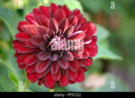 variety  of chrysanthemum fidalgo blacky asteraceae plant, one large dark purple flower with pinkish and whitish spot,  foliage of the plant - Stock Photo
