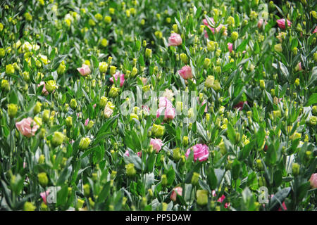 Background with lisianthus flower or auspicious flowers farm - Stock Photo