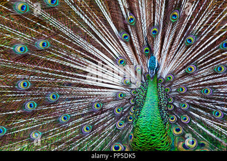 Portrait of wild male peacock with fanned colorful train. Green Asiatic peafowl display tail with blue and gold iridescent feather. - Stock Photo