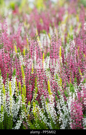 Calluna vulgaris 'Beauty Ladies' flowers. - Stock Photo