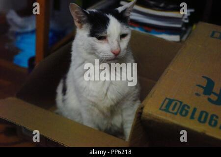 A cute white cat with black spots poses for the camera like a model in a cardboard box - Stock Photo