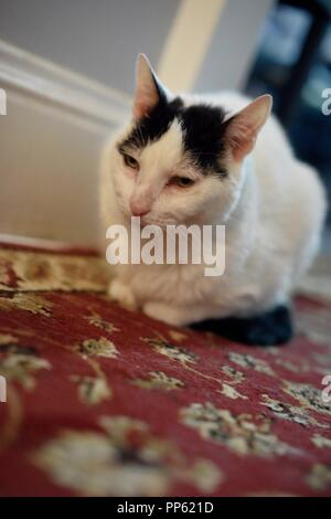 A cute white cat with black spots poses for the camera like a model - Stock Photo