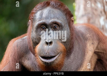 Male Bornean orangutan (Pongo pygmaeus), looking intensely at camera, Borneo, Indonesia.