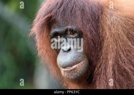 Orangutan, (Pongo pygmaeus), portrait, close up, Borneo, Indonesia. - Stock Photo