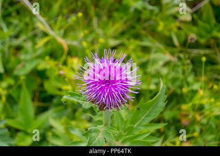 Close-up view of a pink thyme flower with needles that blossomed on a warm, sunny, fresh afternoon against the background of green leaves - Stock Photo