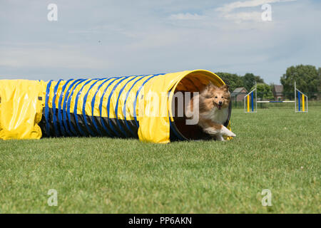 Shetland sheepdog running out of an agility tunnel on a sunny day with other agility obstacles in the background - Stock Photo