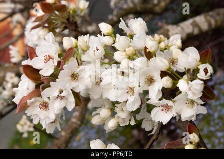 Asian pear tree blossom - Stock Photo