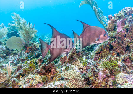Atlantic spadefish,Chaetodipterus faber is a species of marine fish belonging to the family Ephippidae - Stock Photo