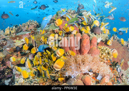 Feeding reef fish, including Blacklip butterflyfish, Chaetodon kleinii,  and Crescent wrasse, Thalassoma lunare, Verde Island, Batangas, Philippines,  - Stock Photo
