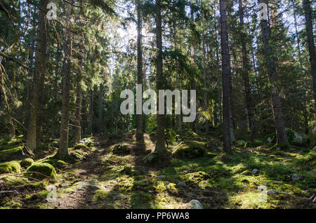 In a deep backlit green coniferous forest - Stock Photo