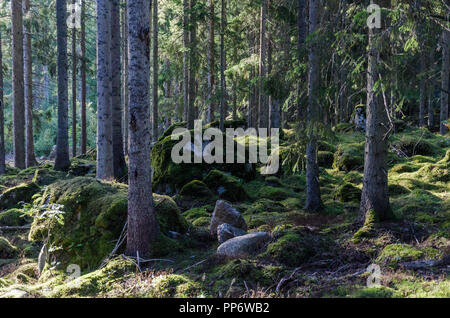 Deep in a mossy old forest with mossgrown rocks - Stock Photo