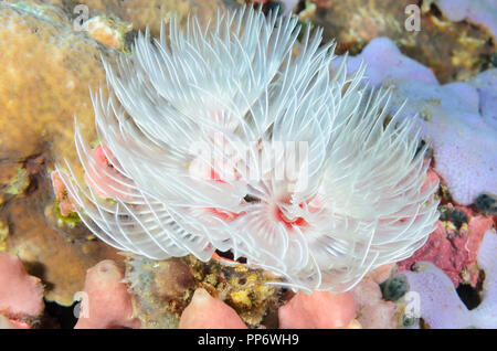 Magnificent tube worm, Protula magnifica, Verde Island, Batangas, Philippines, Pacific - Stock Photo