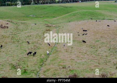 A photo looking down on grazing cattle on a New Zealand farm. - Stock Photo