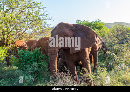 A lead elephant makes his way through the South African bush with a herd following behind. - Stock Photo