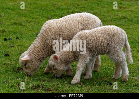 Two Spring lambs grazing on green grass, they still have their long tails - Stock Photo