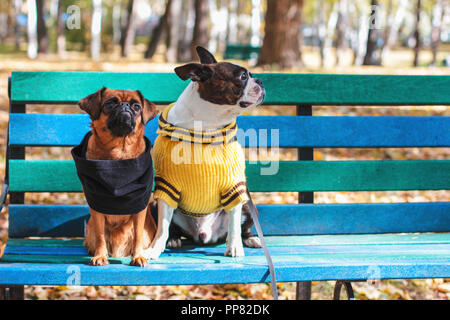Dog friends sit on bench in autumn Park, Boston Terrier and small brabanson - Stock Photo