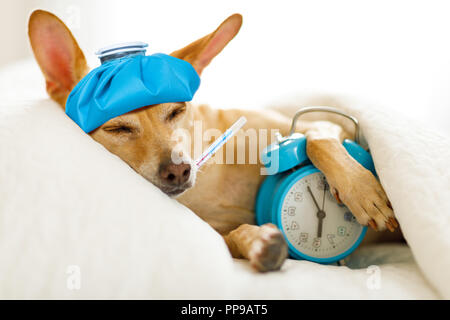 chihuahua dog in bed resting or sleeping , with alarm clock  feeling sick and ill with a hangover from last night - Stock Photo