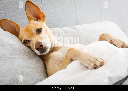 sick ill chihuahua dog in bed with fever and temperature with  a cold and flu or just resting and relaxing - Stock Photo