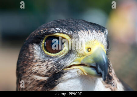 Lanner Falcon, Falco Biarmicus  in Captivity - Stock Photo