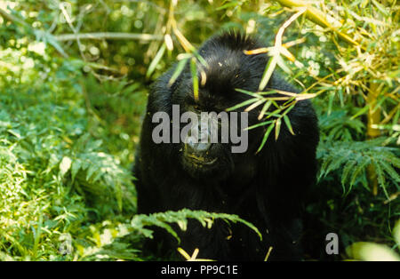 Mountain gorilla (Gorilla beringei beringei) in Undergrowth, Volcanoes National Park, Rwanda, Africa. - Stock Photo