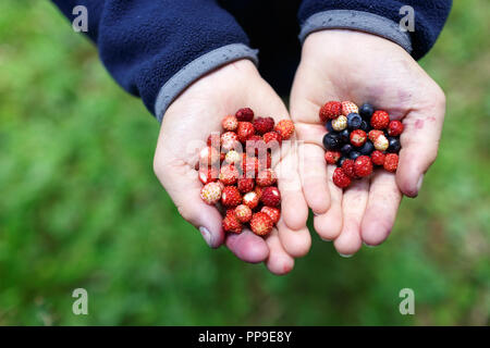 wild organic tasty strawberries and blueberries in child hands - Stock Photo