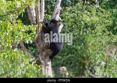 A captive Andean, also known as a spectacled bear climbing in a tree at the zoo. - Stock Photo