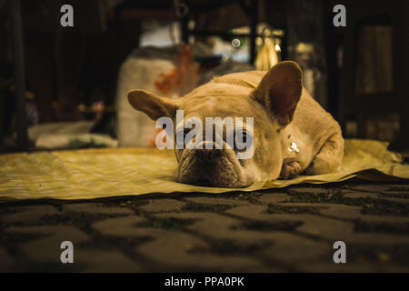 French bulldog looking sad and bored on the ground in Chiang Mai, Thailand - Stock Photo