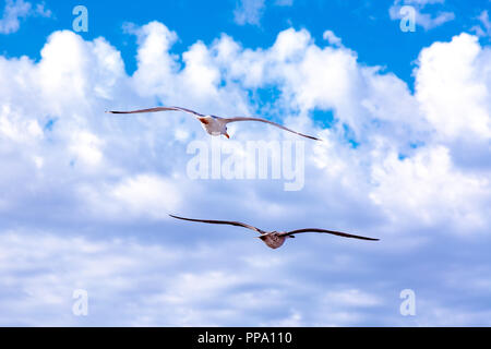 White gulls hovering in the sky. Bird's flight. Seagull on blue sky background - Stock Photo