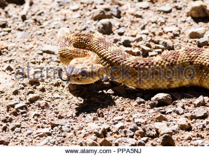 Black-tailed Rattlesnake, Crotalus molossus, on dirt road in Arizona USA - Stock Photo