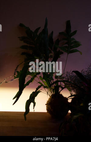 Kokedama with Phlebodium aureum or Blue star fern silhouette illuminated in low light - Stock Photo