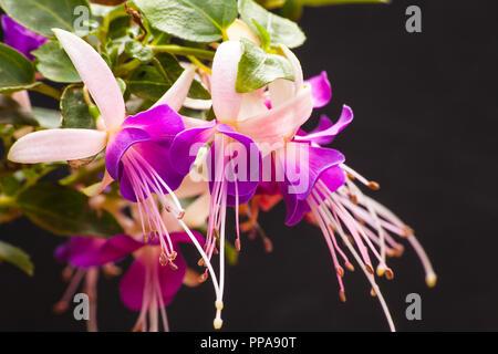 Fuchsia - Stock Photo