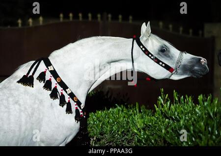 portrait of white   purebred egyption arabian stallion at night. Egypt - Stock Photo