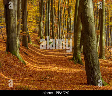 Path in Beech Forest in Autumn, Spessart, Bavaria, Germany - Stock Photo