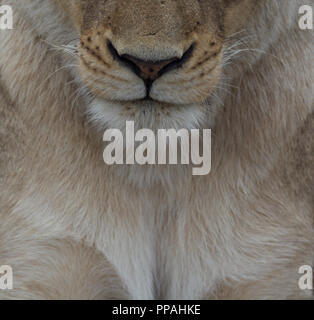 Close up of face of female lion (Panthera leo) including nose and mouth. Taken in the Timbavati Reserve, Gretaer Kruger, South Africa - Stock Photo