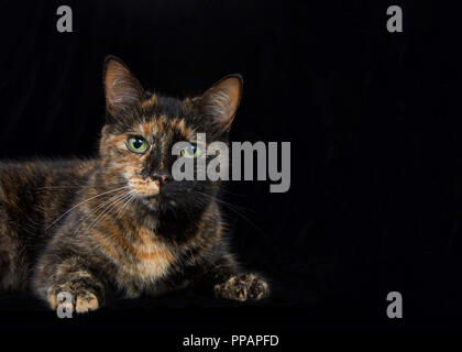 Portrait of a black and orange tortoiseshell tortie torbie tabby with green eyes on black background looking at viewer. Copy space on dark formal hall - Stock Photo