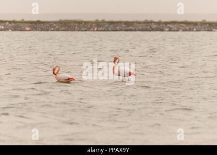 Two flamingo walking on the salt lake - Stock Photo