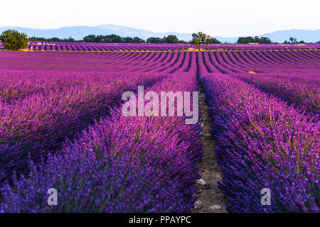 lavender fields at sunset time in the Valensole region, Provence, France, golden hour, intensive colour in evening light - Stock Photo