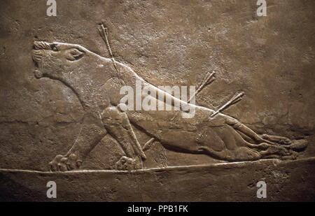 Assyrian relief sculpture panel from the lion hunt showing a dying lion. From Nineveh North Palace, Iraq, 668-627 B.C. British Museum. London. - Stock Photo