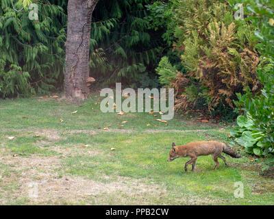 London UK, urban fox, feral, strolling in garden. Vulpes vulpes. - Stock Photo