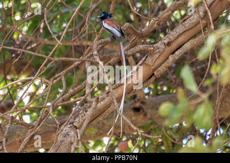Male  Red-bellied paradise flycatcher (Terpsiphone rufiventer), aka black-headed paradise flycatcher,Dolo Mena, Oromia Region, Ethiopia - Stock Photo