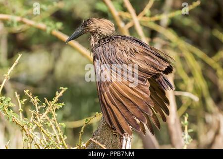 Hamerkop, Scopus umbretta, Lake Ziway, Ethiopia - Stock Photo