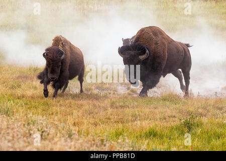 American bisons (Bison bison) in mating run, Lamar Valley, Yellowstone National Park - Stock Photo