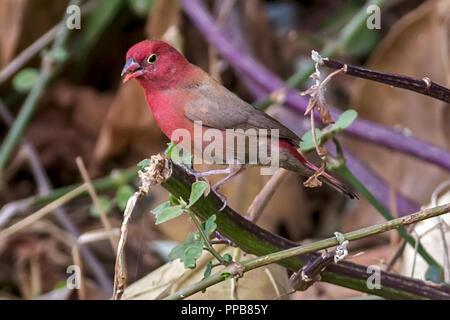 Red-billed firefinch, Lagonosticta senegala senegala, male, Volcanic Lake, Bishoftu aka Debre Zeit, Oromia region, Ethiopia,, - Stock Photo