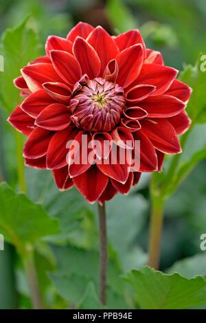 Dekorative Dahlie (Dahlia), variety Maxime, bloom, North Rhine-Westphalia, Germany - Stock Photo